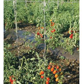 西红柿吐温-1,000年线