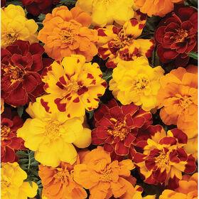 杜兰戈内陆混合金盏花