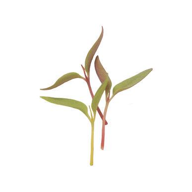 Celosia Microgreen Flowers