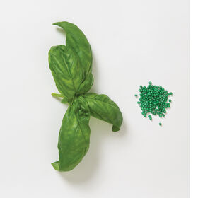 Genovese Compact, Improved Multi-Seed Pellet Pesto Basil