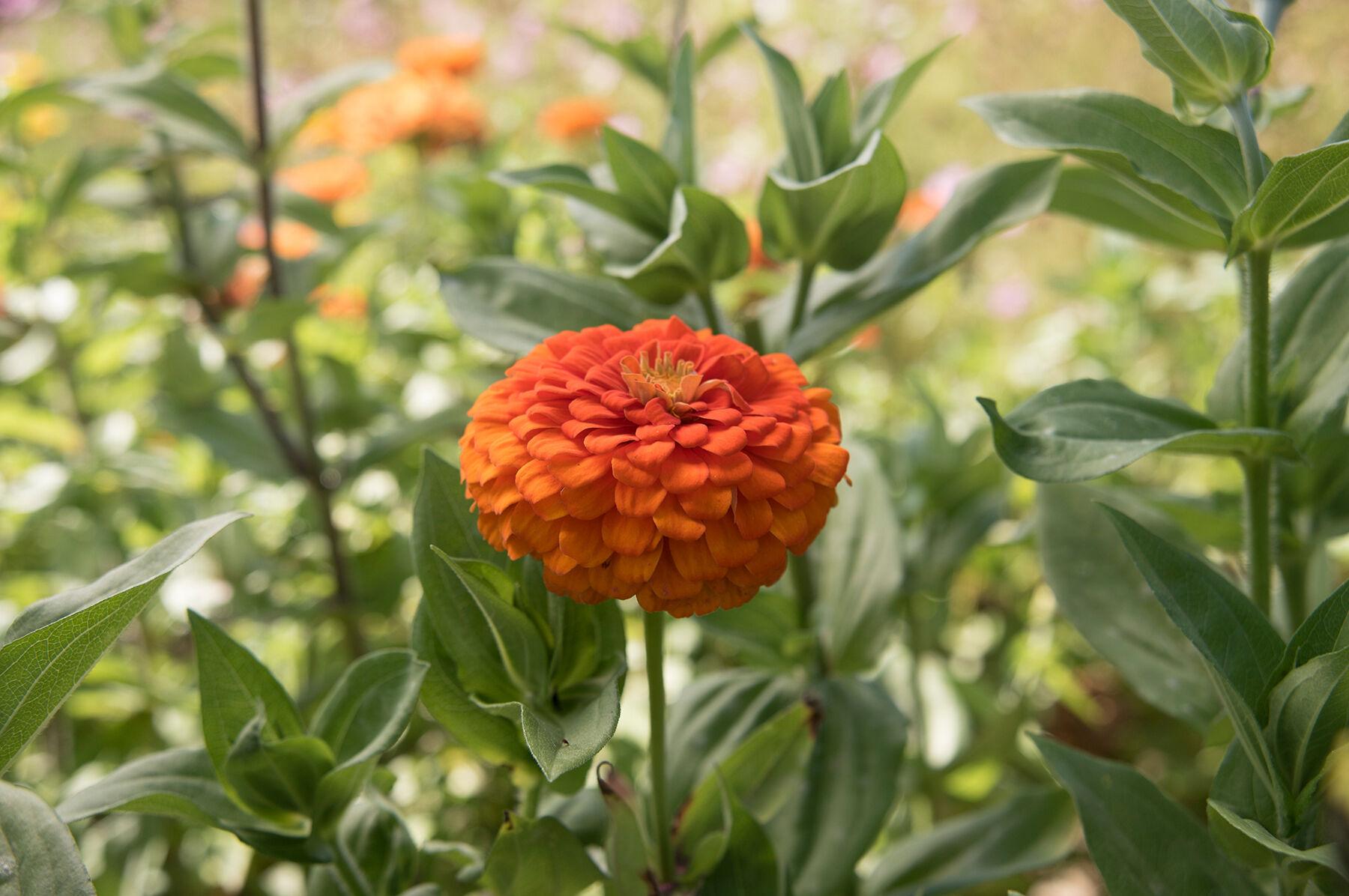 Best Wild Flowers Tall Orange Perennial Flowers Wild Flowers