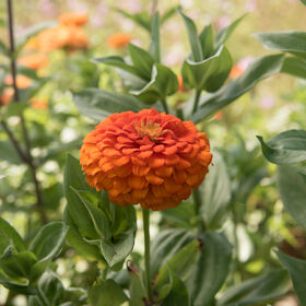 Giant Dahlia Flowered Orange Tall Zinnias