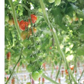 帕雷索葡萄西红柿
