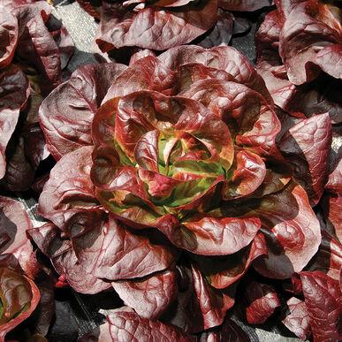Teodore Butterhead Lettuce (Boston)