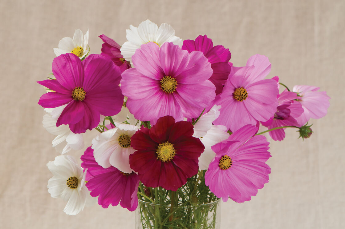 Sensation Mix Cosmos Seed Johnnys Selected Seeds