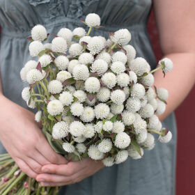 Audray White Gomphrena (Globe Amaranth)