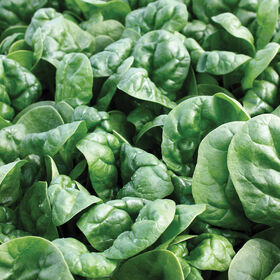 Emperor Savoyed-Leaf Spinach