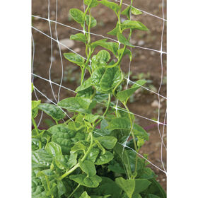 Green Malabar Spinach
