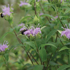Wild Bergamot Monarda (Bee Balm)