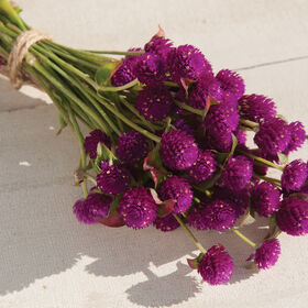 QIS™ Purple Gomphrena (Globe Amaranth)