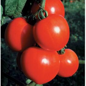 新来的女孩切西红柿
