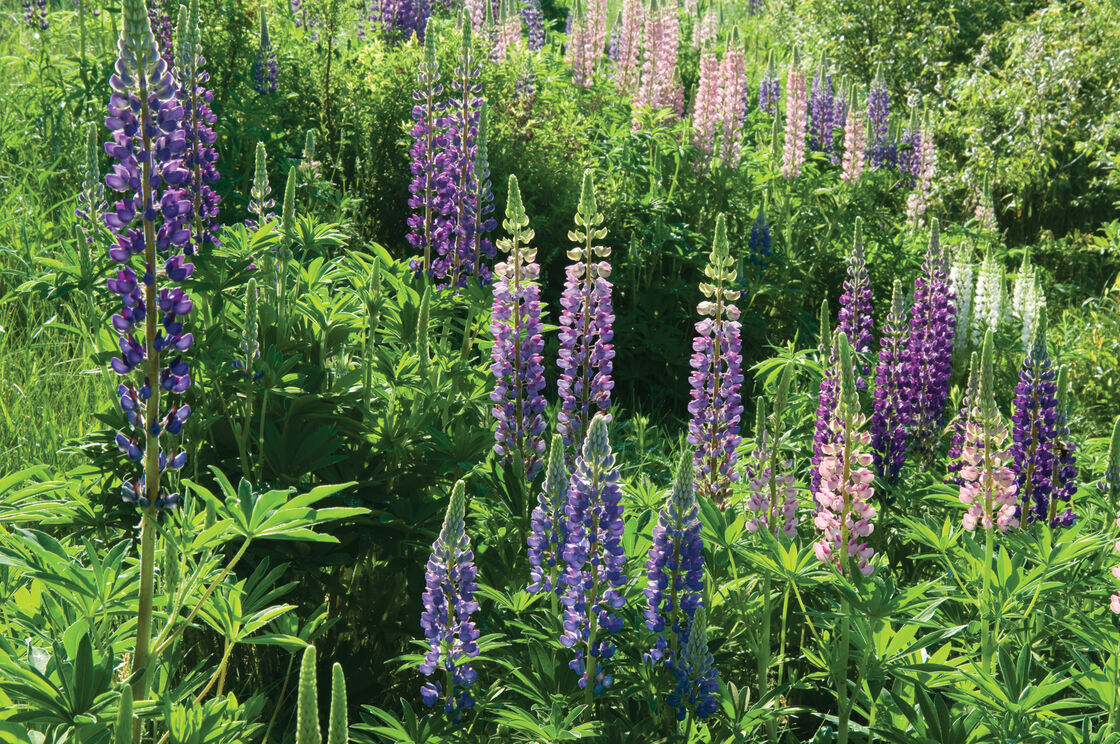 Perennial Lupine Seed Johnnys Selected Seeds