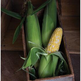 Temptress Sweet Corn