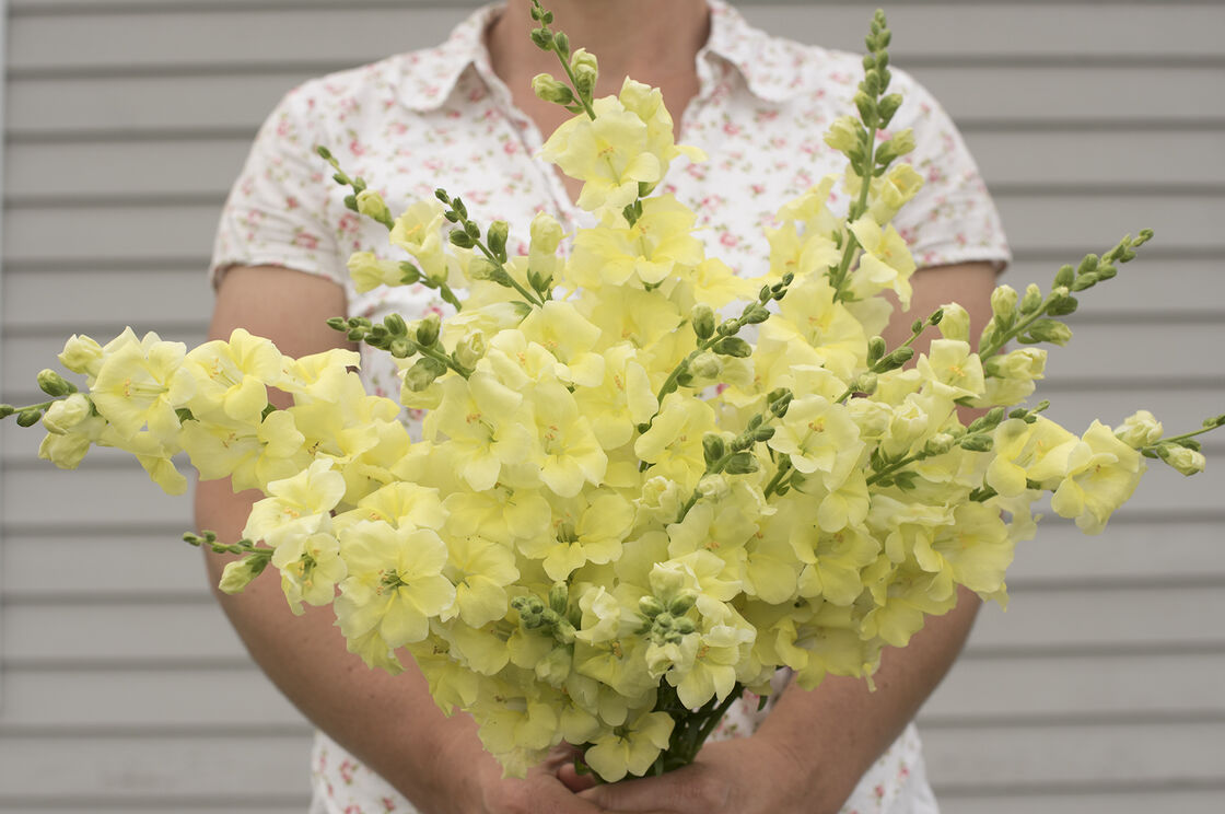 Chantilly Cream Yellow Snapdragon Seed Johnnys Selected Seeds