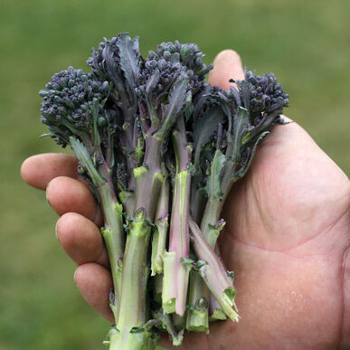 Santee Sprouting Broccoli