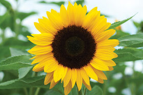 Sunflower Seeds - Organic Varieties | Johnny's Selected Seeds