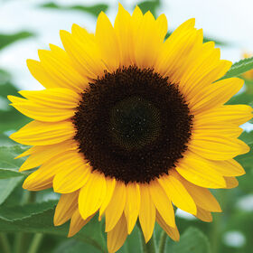 Sunrich Orange Summer Tall, Single Stem Sunflowers