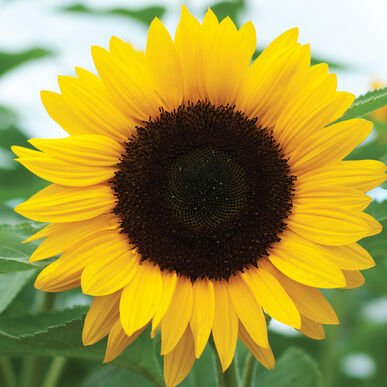 summer sunflowers andrea - photo #33