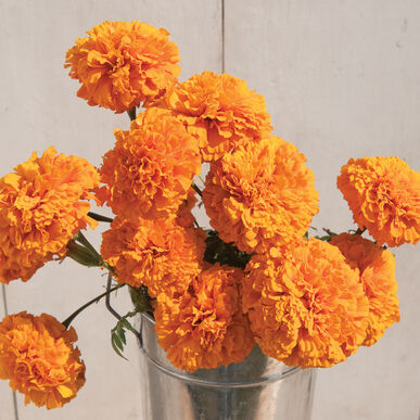 Giant Orange Marigold