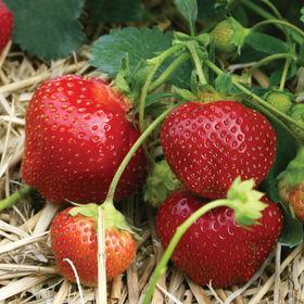Galletta草莓裸根植物