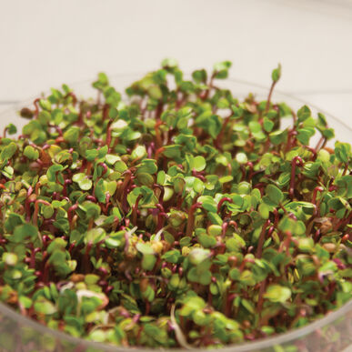 Radish, Triton Sprouts