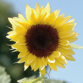 ProCut Peach Tall, Single Stem Sunflowers