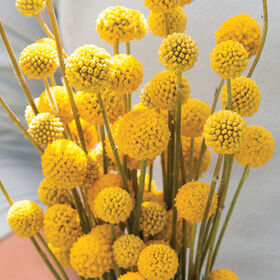 Craspedia seeds drumstick flowers johnnys selected seeds sun ball mightylinksfo
