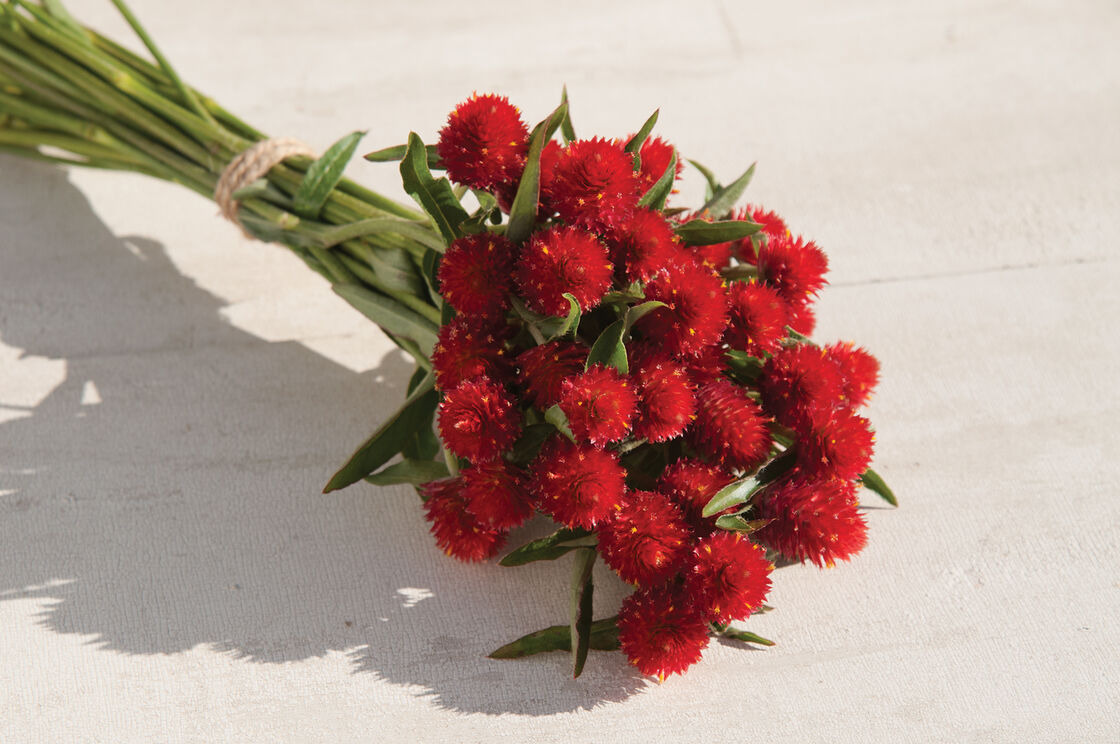 Strawberry Fields Gomphrena Seed Johnnys Selected Seeds