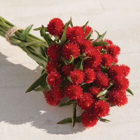 Strawberry Fields Gomphrena (Globe Amaranth)