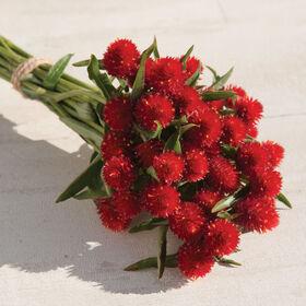 草莓地Gomphrena(全球苋属植物)