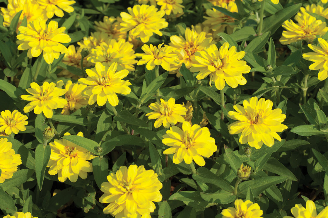 Profusion double yellow f1 zinnia seed johnnys selected seeds view full size image izmirmasajfo
