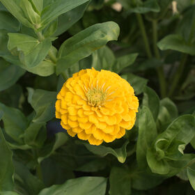 Giant Dahlia Flowered Golden Yellow Tall Zinnias