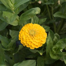 巨大的大丽花Zinnias花金黄高