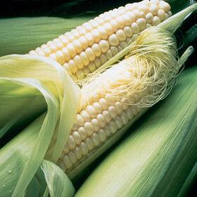 银皇后甜玉米