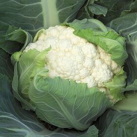 主教标准花椰菜
