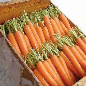 那不勒斯早期胡萝卜