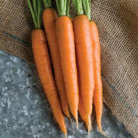 花蜜主要作物胡萝卜