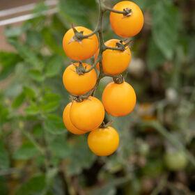金块樱桃番茄