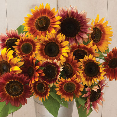 Autumn Beauty Sunflower Seed Johnnys Selected Seeds