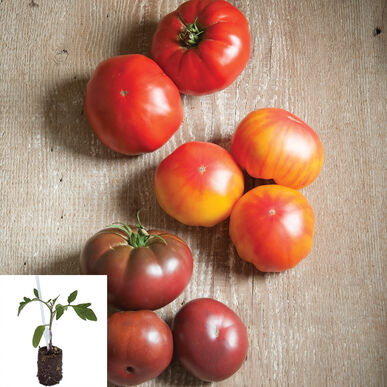 Grafted French Heritage Tomato Collection