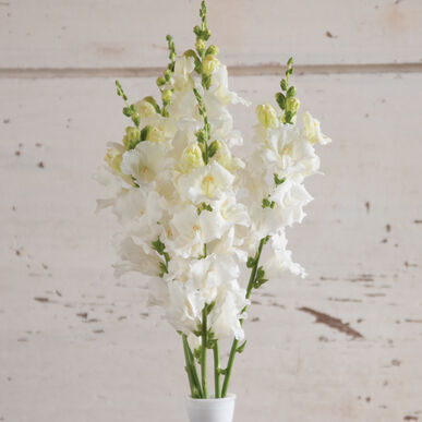 Chantilly White Snapdragon