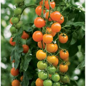 多伦多樱桃西红柿