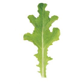 苏禄橡树叶生菜