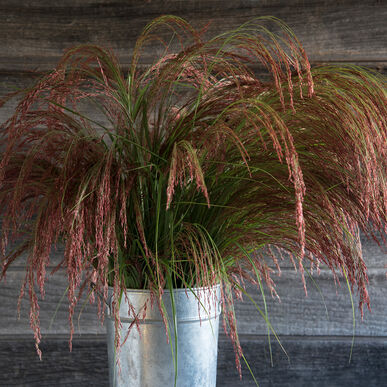Ruby silk ornamental grass seed johnnys selected seeds ruby silk grasses ornamental workwithnaturefo