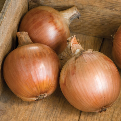 Pontiac Full-Size Onions