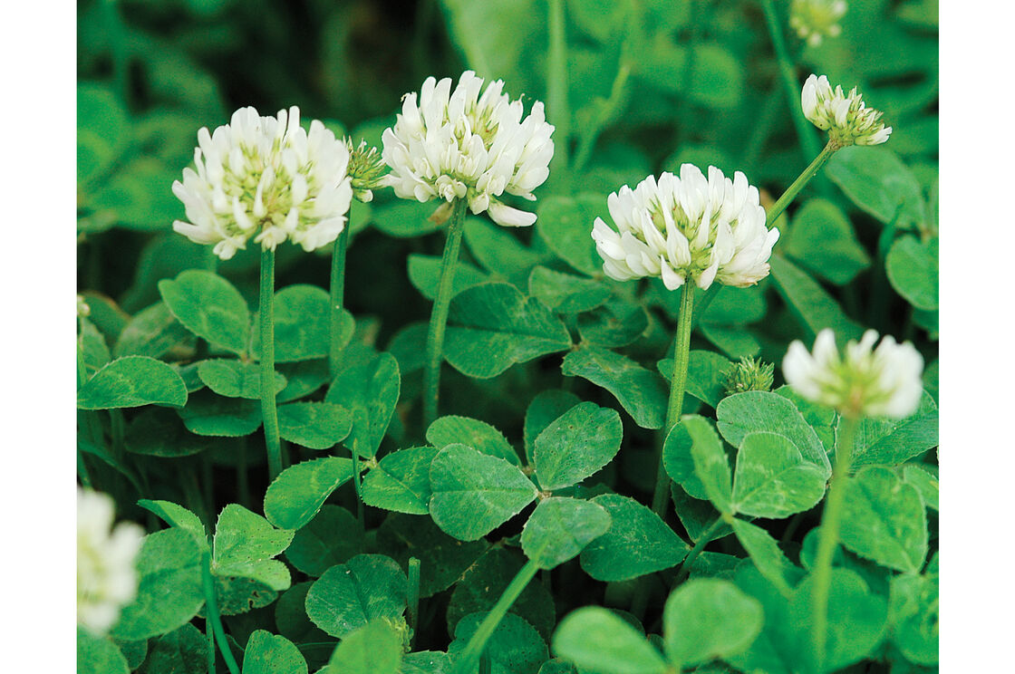 New zealand white clover cover crop seed johnnys selected seeds new zealand white clover mightylinksfo