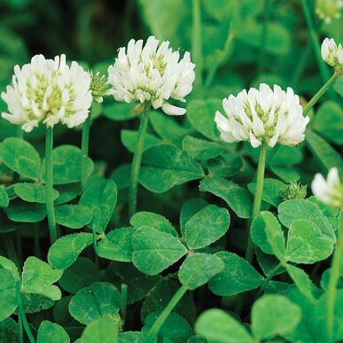 New Zealand White Clover Cover Crop Seed