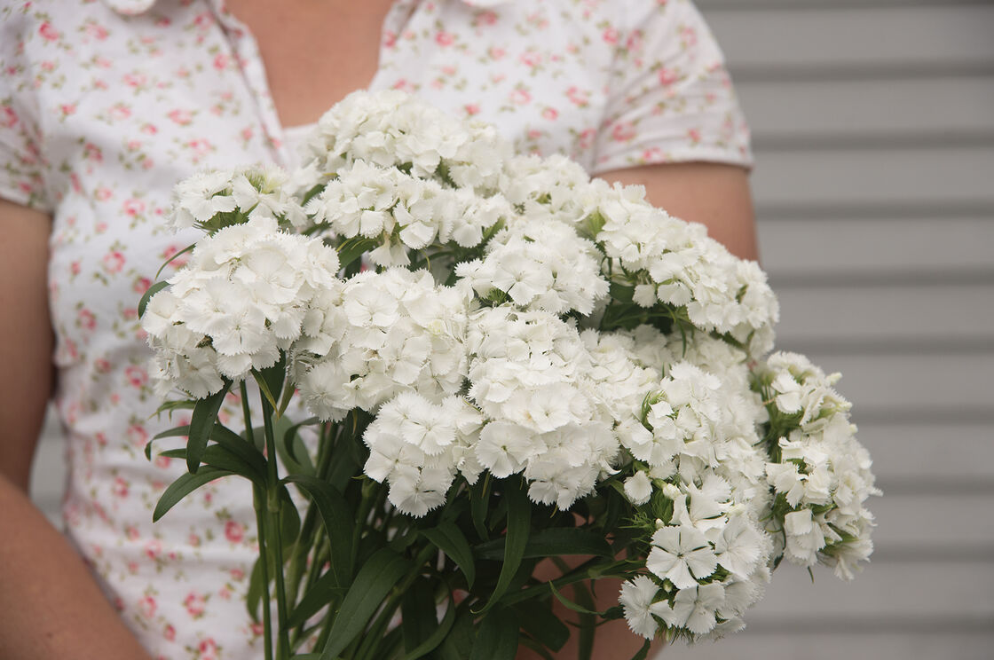 Sweet white pelleted f1 dianthus seed johnnys selected seeds sweet white dianthus sweet william mightylinksfo