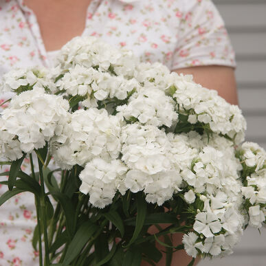 Sweet White Dianthus (Sweet William)
