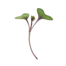 Cabbage, Red Fast Growing Varieties